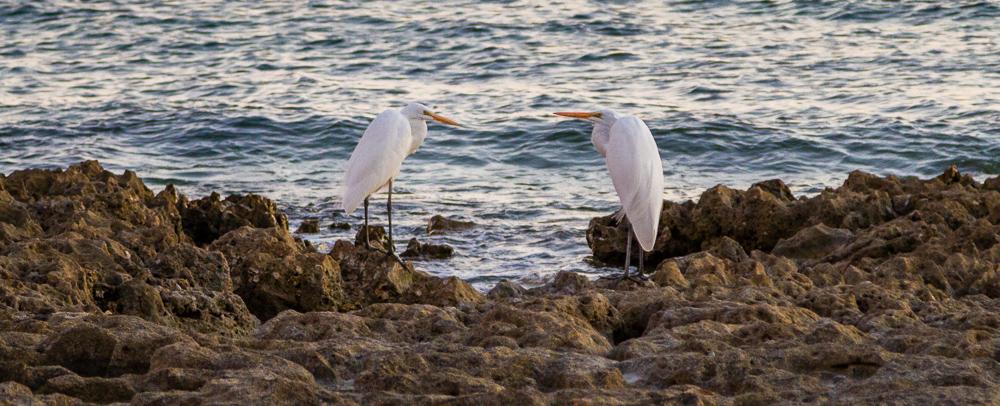 PuertoPenascoBajaEcoFun - Puerto-Penasco-Eco-Fun-Whale-Watching-Baja-Mexico-Egret-Birds.jpg